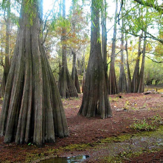 Endangered Coastal Cypress Forest