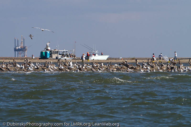 Coastal birds with BP cleanup workers in the background