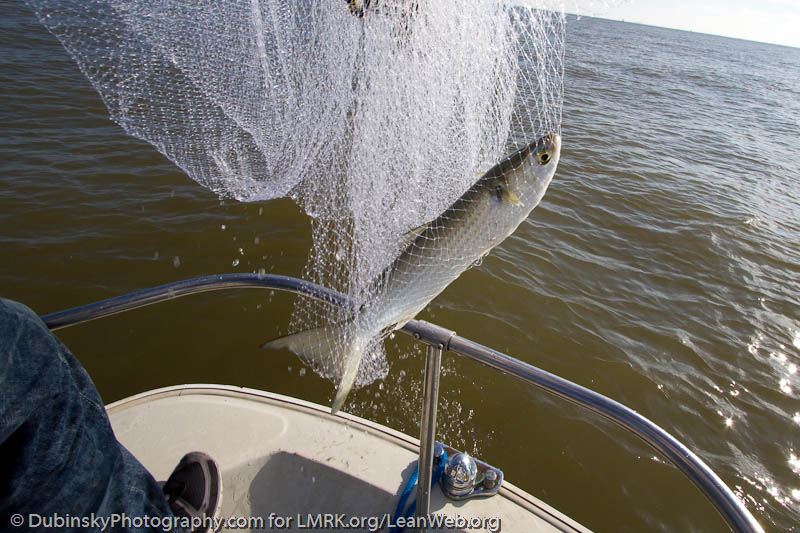 Mullet caught in a cast net by Michael